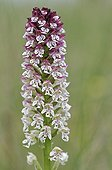 Burnt orchid flower in the spring France