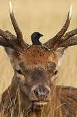 Jackdaw perched on the head of a red deer winter GB