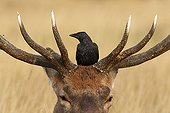 Juvenile Carrion crow on the head of a red deer winter GB