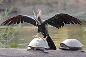 African Darter climbing on a turtle after fishing Kruger NP