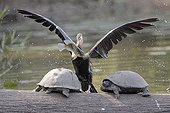 African Darter ready to climb on a turtle after fishing