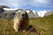 Alpine Marmot Massif Grossglockner Austria ; Height: 2 400 m