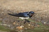 Barn swallow collecting mud to build its nest GB