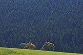Deciduous autumn before a forest of conifers Ardèche France