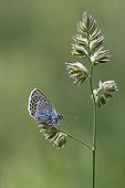 Silver-studded Blue on a rod Vanoise NP France