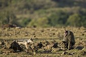 Jackal trying to steal a gazelle hunted by a male baboon