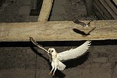 Barn Owl and its Common vole prey with a Bat France