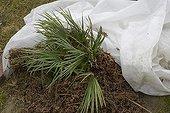 Cod protection on a Eurpean fan palm 'Cerasifera'