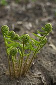 Young male fern leaves in spring