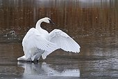 Trumpeter Swan on Floating Island Lake partially frozen USA ; The trumpeter swan is found only in North America