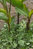 Mulching of stinging nettle leaves on cannas