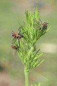 Mouches parasitées par un champignon ; Mouches communes parasitées par le champignon Entomophtora muscae; l'abdomen des insectes est tapissé par les hyphes fongiques. Champignon utilisé en lutte biologique contre la mouche du chou