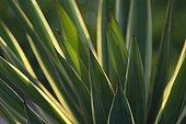 Yucca gloriosa, Yucca