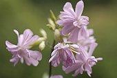 Saponaria officinalis, Soapwort