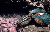 Martin-pêcheur nourrissant ses jeunes au nid France ; Jeunes agés de 15 jours
