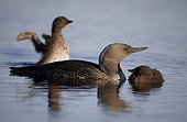 Red-throated Loon adult and young Finland