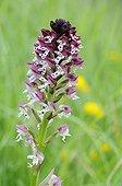 Orchis brûlée en Chartreuse Alpes France