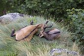 Tenderness a Northern Chamois to his young resting France