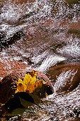 Feuille d'Erable sycomore à l'automne dans un ruisseau ; Rivière : Le Rahin