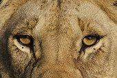 Regard de Lionne Masaï Mara Kenya
