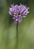 Mountains Garlic in flower in the Hautes-Alpes France