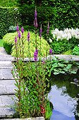 Purple loosestrife in bloom on the edge of a garden pound