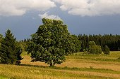 Maple in a mountain meadow NP Sumava Czech Republic