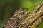 Giant Forest Dragon with leaf grasshopper as prey Malaisie