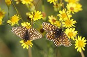 Nickerl's Fritillary foraging of ragwort France