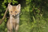 Red fox coming out of burrow near an orchard France