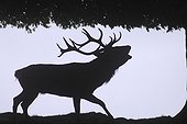 Silhouette of male deer in the forest edging Germany