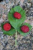 Wild Raspberries on foliage France