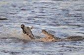 Nile crocodile attacking a Plains Zebra Masaï-Mara NR Kenya