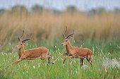 Two Black-faced Impalas running Botswana