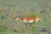 Black-faced Impala jumping Masaï Mara NR Kenya