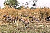 Group of Spotted Hyaena running Botswana