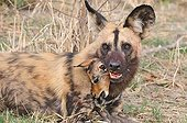 African Wild Dog and a young Impala in the mouth Botswana