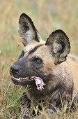 African Wild Dog eating a young Impala Botswana