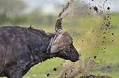 African Buffalo is shaking mud in Masai Mara NR Kenya