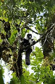 Black and White ruffed Lemur on branch Ranomafana Madagascar