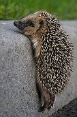 Young hedgehog trying to climb onto a sidewalk France ; 4 weeks young orphan found along the Atlantic Road Central Europe