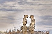 Two Cheetahs sit in the savannah of Botswana