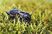 Field Cricket in summer Correze France