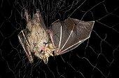 Gnome Fruit-eating Bat in net capture Kaw French Guiana