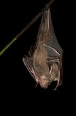 Great Fruit-eating Bat hanging from a branch French Guiana
