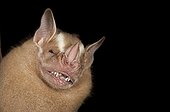 Portrait of Great Fruit-eating Bat French Guiana
