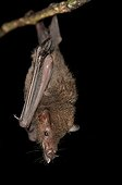 Lesser long-tailed bat suspended French Guiana