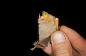 McConnell's yellow-eared bat on hand Kaw Guiana
