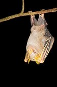 McConnell's yellow-eared bat suspended Kaw Guiana