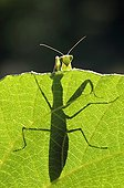 Praying Mantis as a silhouette on a leaf France